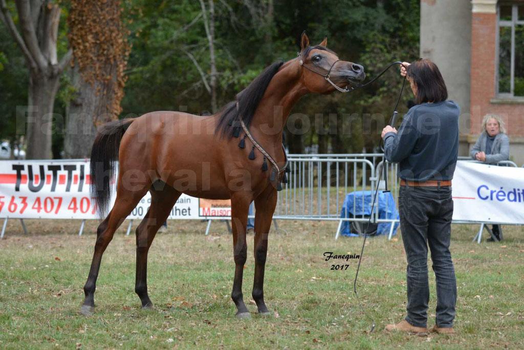 Fête du cheval à GRAULHET le 17 Septembre 2017 - Présentation de chevaux Arabes en main et monté élevage de GACIA - 3