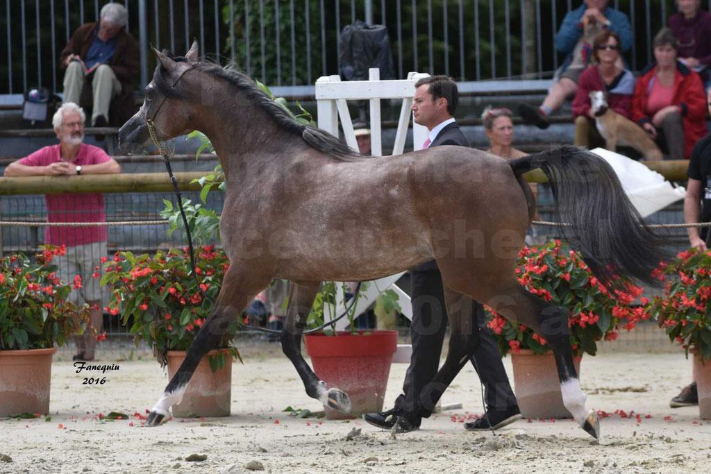 Championnat de France de chevaux Arabes 2016 à Pompadour - AÏNHOA MA PTIT FOLIE - 01