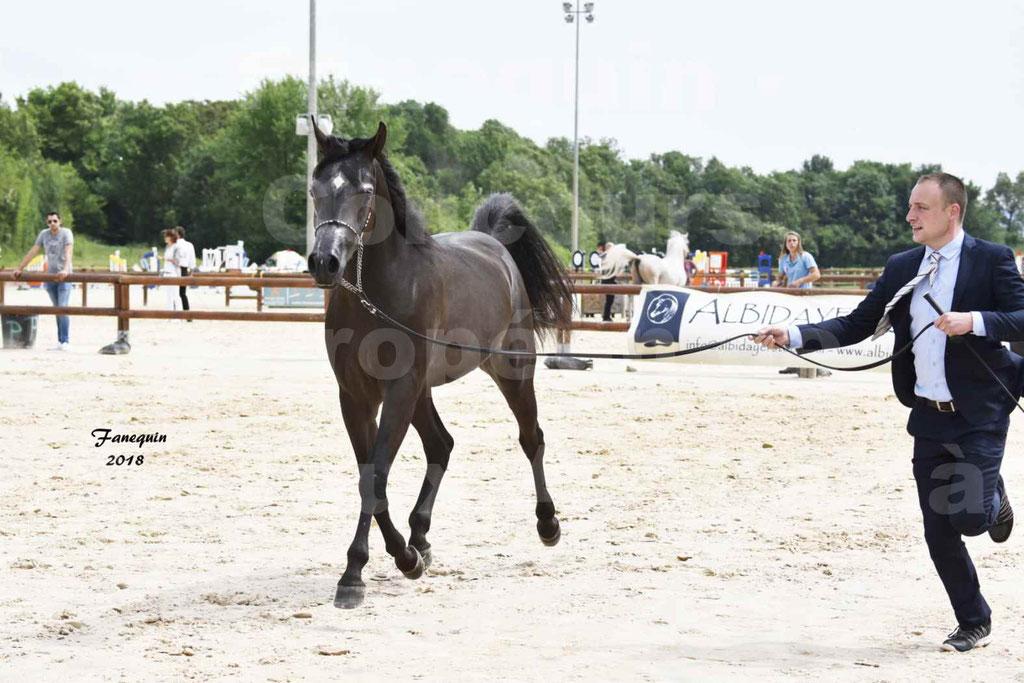 Concours Européen de chevaux Arabes à Chazey sur Ain 2018 - SDL MAGIC NIGHT STONE - Notre Sélection - 05