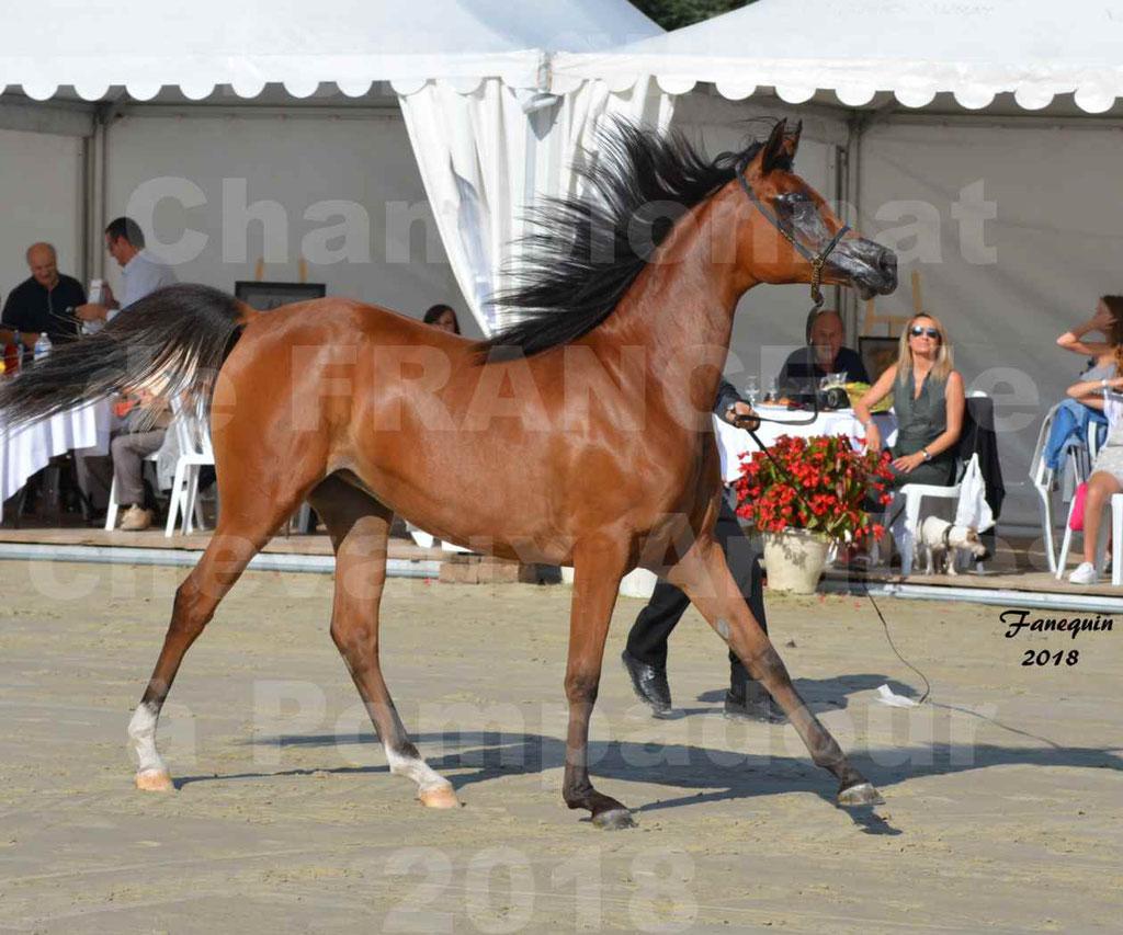 Championnat de FRANCE des chevaux Arabes à Pompadour en 2018 - SH CHARISMA - Notre Sélection - 01