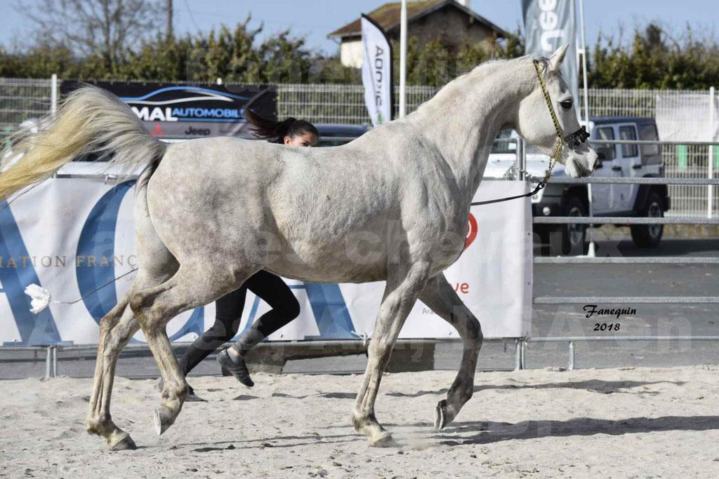 Concours d'élevage de Chevaux Arabes - Demi Sang Arabes - Anglo Arabes - ALBI les 6 & 7 Avril 2018 - NAÏM DE L'OLIVIER - Notre Sélection - 04