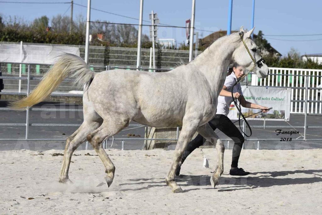 Concours d'élevage de Chevaux Arabes - Demi Sang Arabes - Anglo Arabes - ALBI les 6 & 7 Avril 2018 - NAÏM DE L'OLIVIER - Notre Sélection - 11