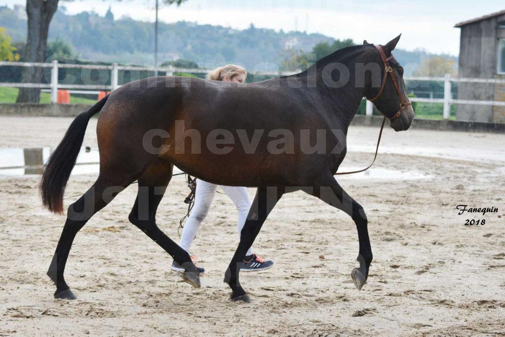 Confirmation de chevaux LUSITANIENS aux Haras d'UZES Novembre 2018 - LOUNA DU CASTEL - 02