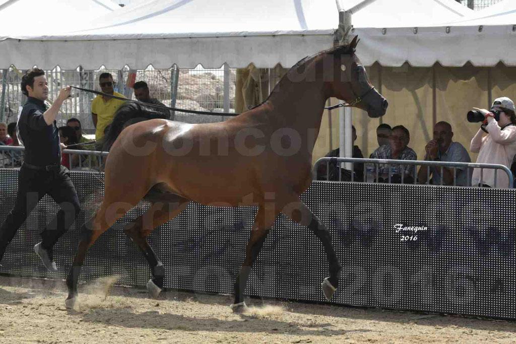 Championnat du pur-sang arabe de la Méditerranée et des pays arabes - MENTON 2016 - GHAZWAN AL JASSIMYA - Notre Sélection - 10