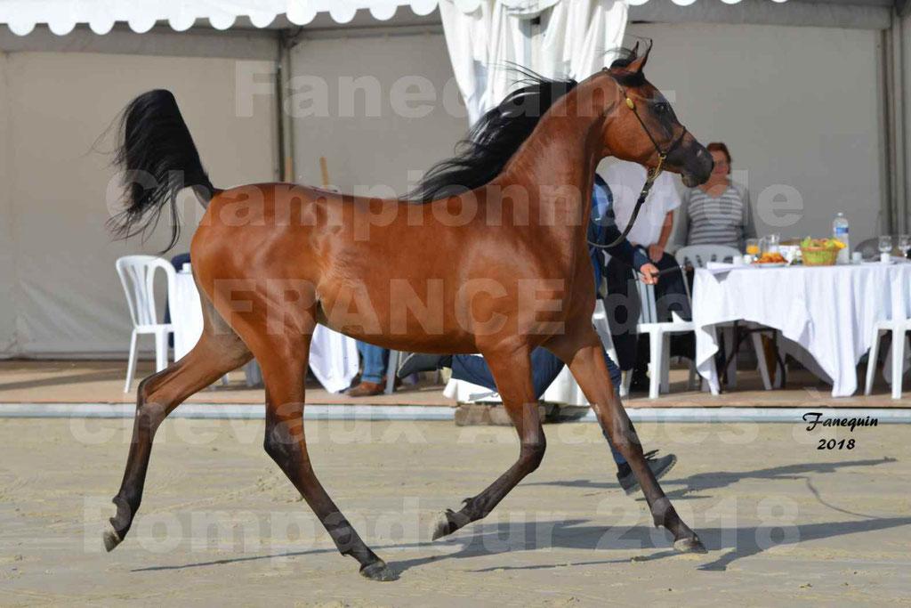 Championnat de FRANCE de chevaux Arabes à Pompadour en 2018 - BO AS ALEXANDRA - Notre Sélection - 18