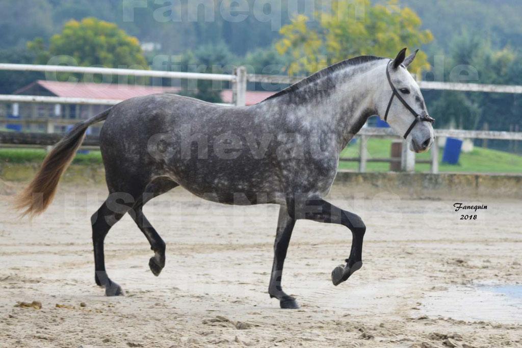 Confirmation de chevaux LUSITANIENS aux Haras d'UZES Novembre 2018 - JAVA DO REAL - 14