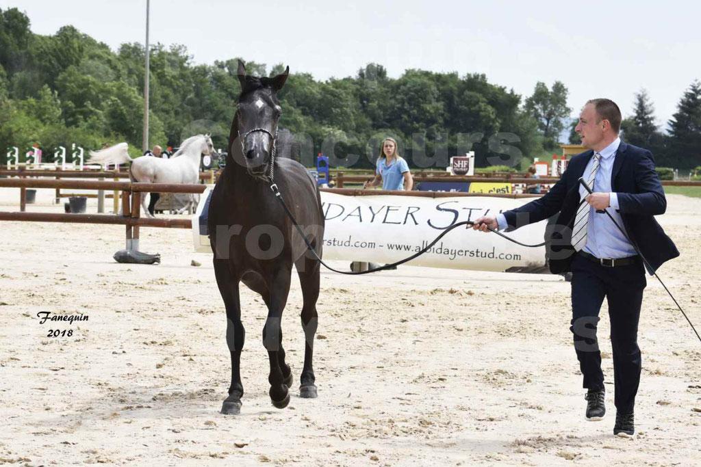 Concours Européen de chevaux Arabes à Chazey sur Ain 2018 - SDL MAGIC NIGHT STONE - Notre Sélection - 02