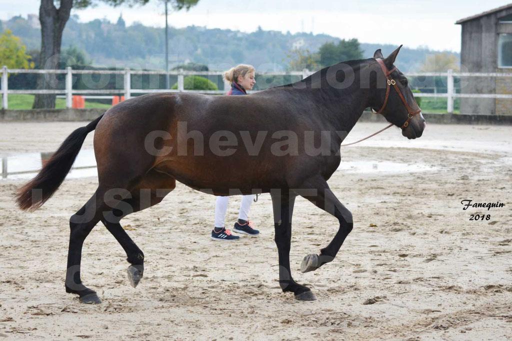 Confirmation de chevaux LUSITANIENS aux Haras d'UZES Novembre 2018 - LOUNA DU CASTEL - 04