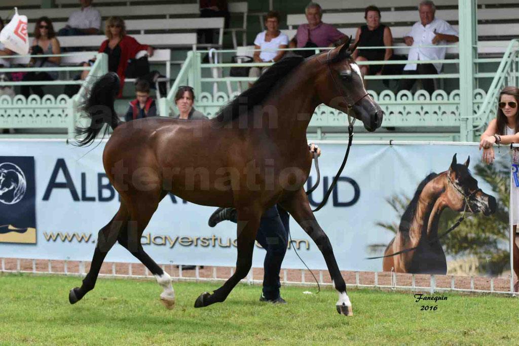 International Arabian Horse Show B de VICHY 2016 - ESMAELIA AL HEVAN - Notre Sélection - 05