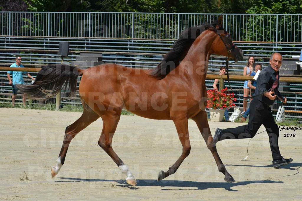 Championnat de FRANCE des chevaux Arabes à Pompadour en 2018 - SH CHARISMA - Notre Sélection - 21