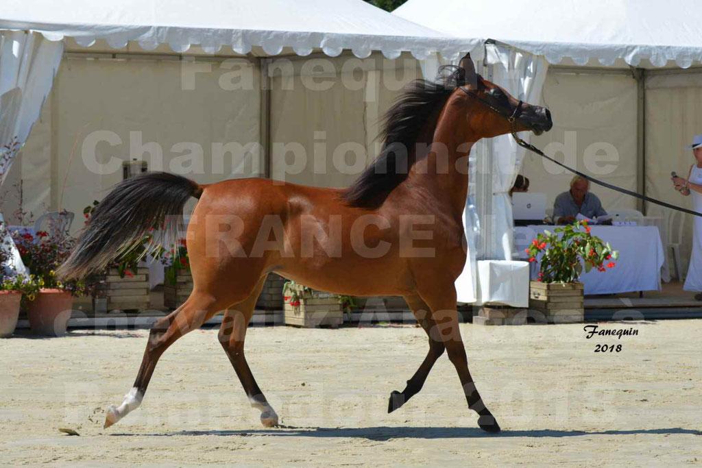 Championnat de FRANCE des chevaux Arabes à Pompadour en 2018 - SH CHARISMA - Notre Sélection - 15
