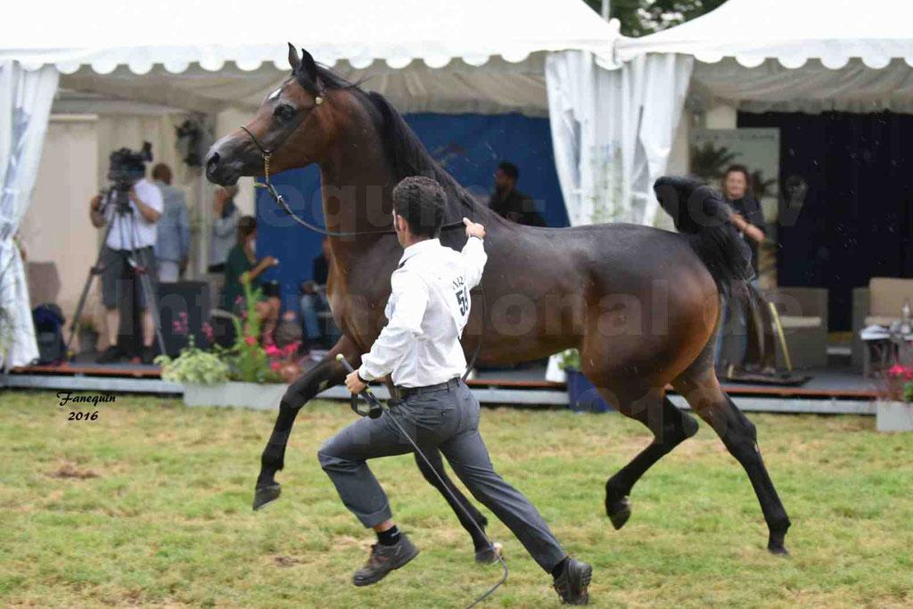 International Arabian Horse Show B de VICHY 2016 - MILLIAR - Notre Sélection - 34