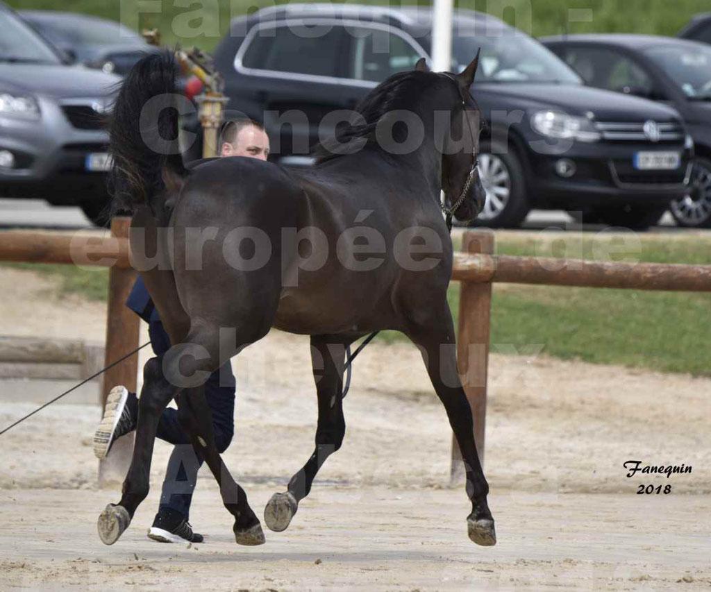 Concours Européen de chevaux Arabes à Chazey sur Ain 2018 - SDL MAGIC NIGHT STONE - Notre Sélection - 09