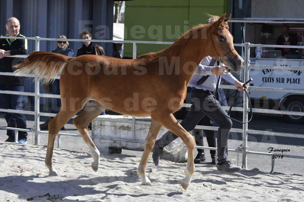 Concours d'élevage de Chevaux Arabes - Demi Sang Arabes - Anglo Arabes - ALBI les 6 & 7 Avril 2018 - MARCUS DE LAFON - Notre Sélection - 2