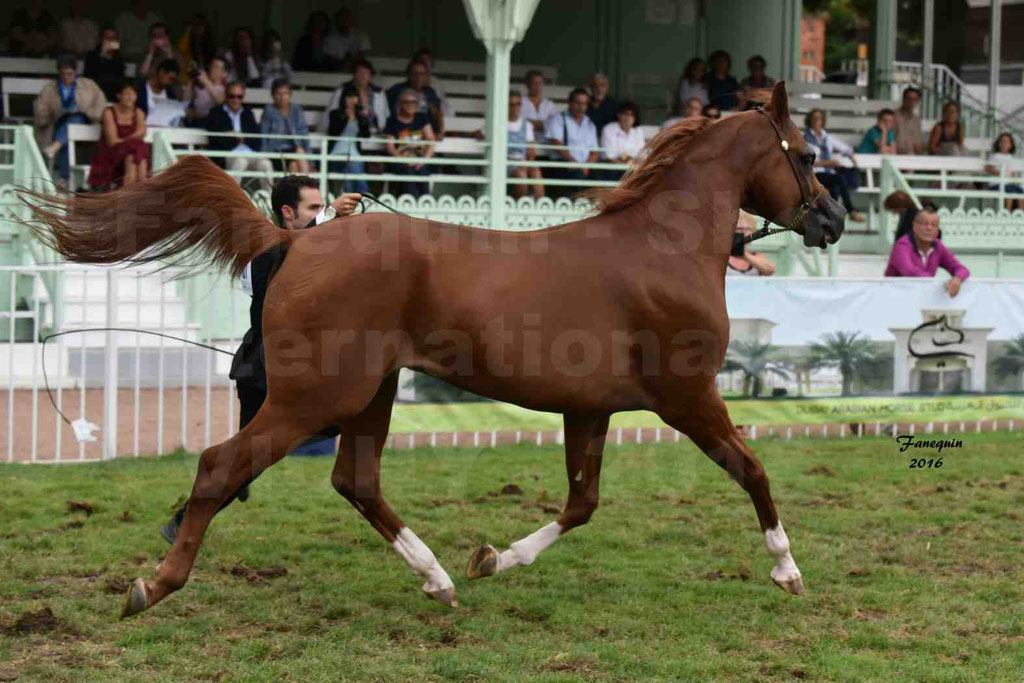 International Arabian Horse Show B de VICHY 2016 - DZHARI NUNKI - Notre Sélection - 09