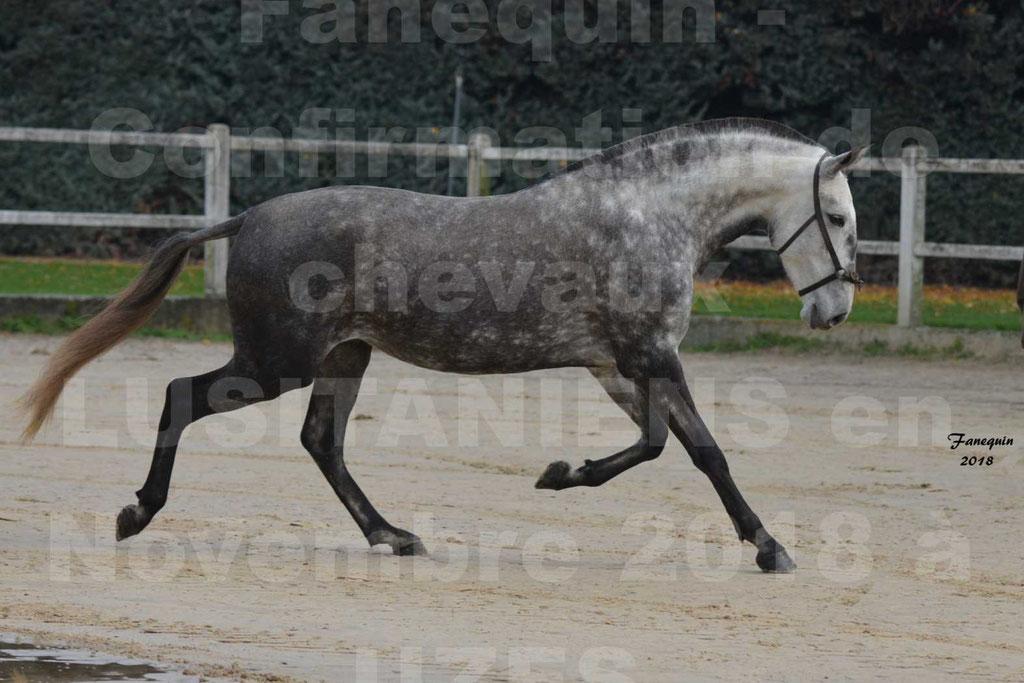 Confirmation de chevaux LUSITANIENS aux Haras d'UZES Novembre 2018 - JAVA DO REAL - 06