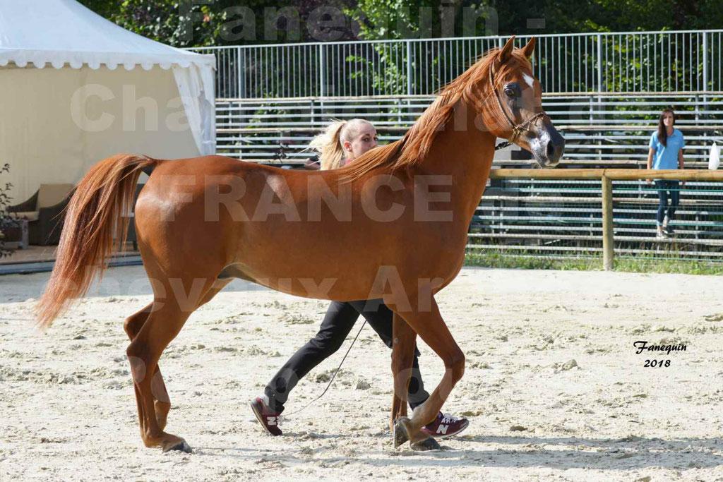 Championnat de FRANCE de chevaux Arabes à Pompadour 2018 - MAAMAR ISHANE - Notre Sélection - 02