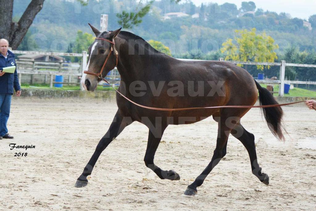 Confirmation de chevaux LUSITANIENS aux Haras d'UZES Novembre 2018 - LOUNA DU CASTEL - 15