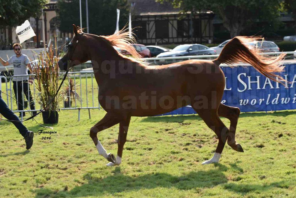 International Arabian Horse Show B de VICHY 2016 - DZHARI NUNKI - Notre Sélection - 29