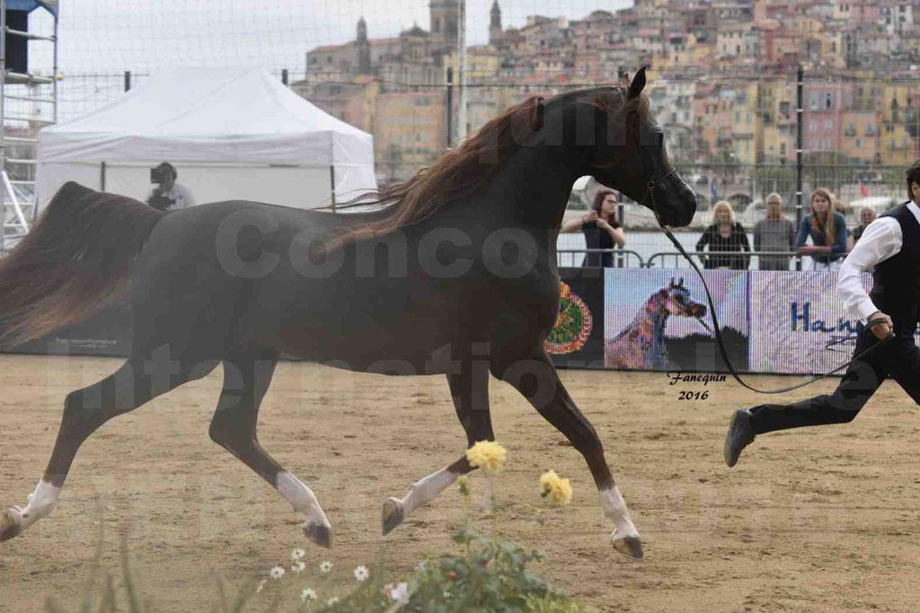 Championnat du Pur-Sang Arabe de la Méditerranée et des pays Arabes - MENTON 2016 - IM BAYARD CATHARE - C 143