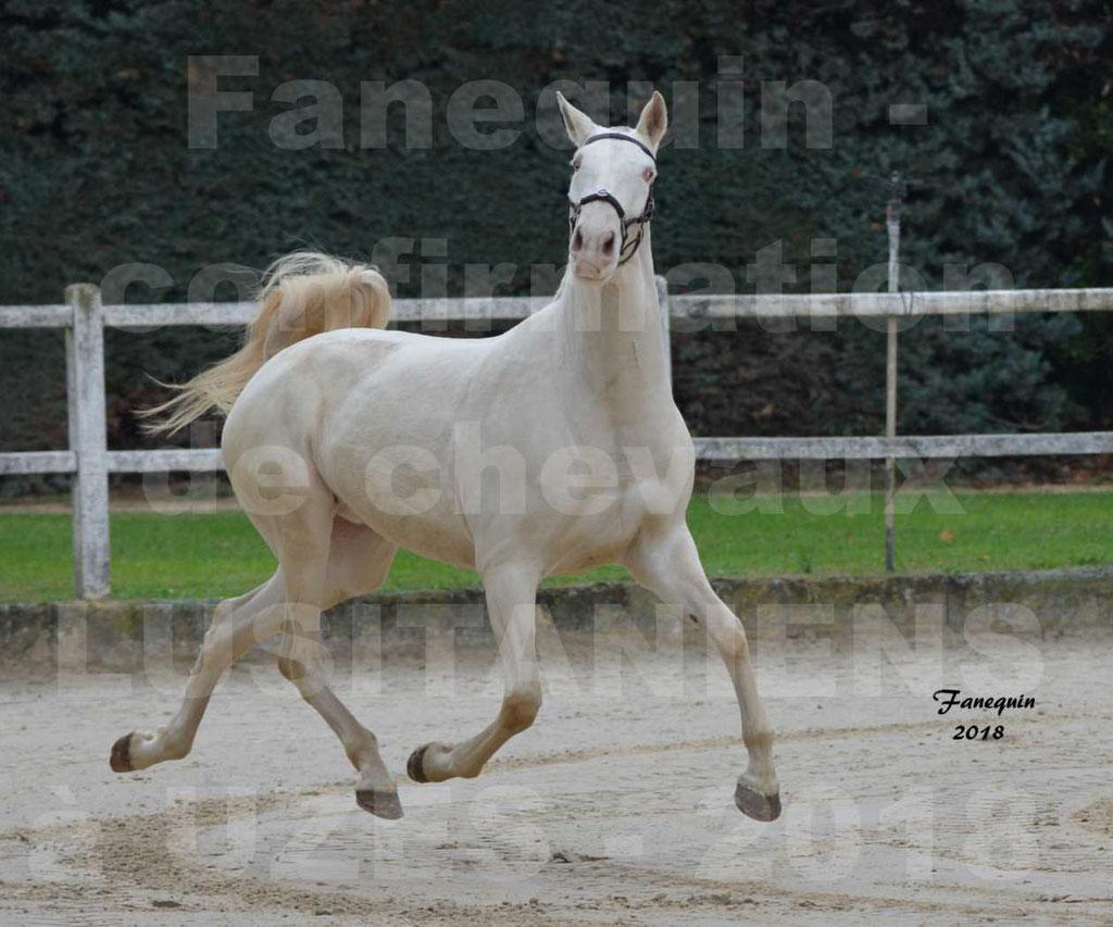 Confirmation de chevaux LUSITANIENS aux Haras d'UZES Novembre 2018 - LOLIBLOU - 18