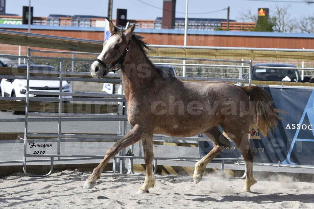 Concours d'élevage de Chevaux Arabes - Demi Sang Arabes - Anglo Arabes - ALBI les 6 & 7 Avril 2018 - GAZIM DU CARRELIE - Notre Sélection - 05