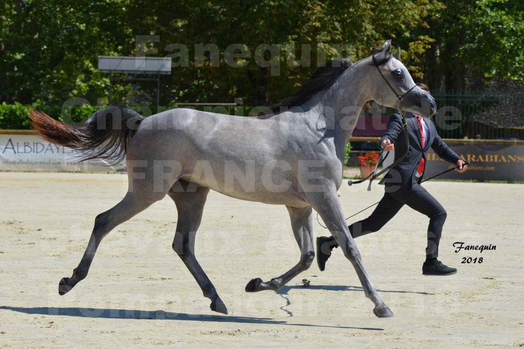 Championnat de FRANCE de chevaux Arabes à Pompadour en 2018 - SANIA DU CAYRON - Notre Sélection - 18