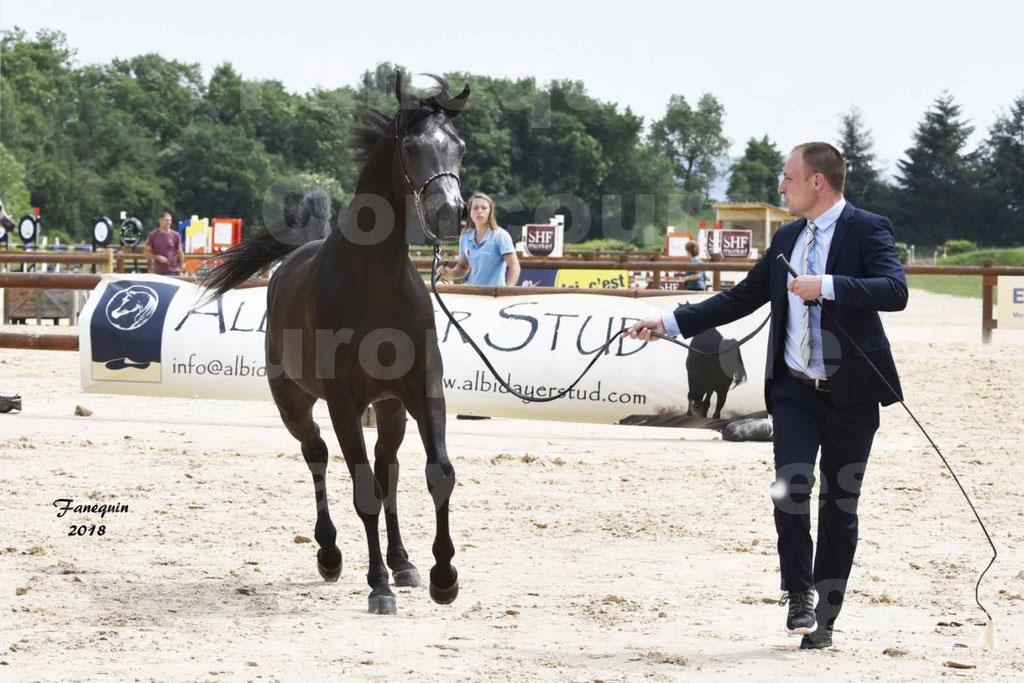 Concours Européen de chevaux Arabes à Chazey sur Ain 2018 - SDL MAGIC NIGHT STONE - Notre Sélection - 01