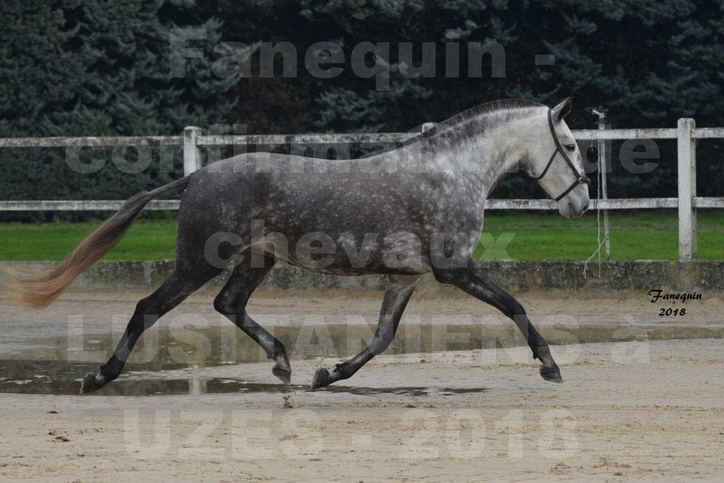Confirmation de chevaux LUSITANIENS aux Haras d'UZES Novembre 2018 - JAVA DO REAL - 08