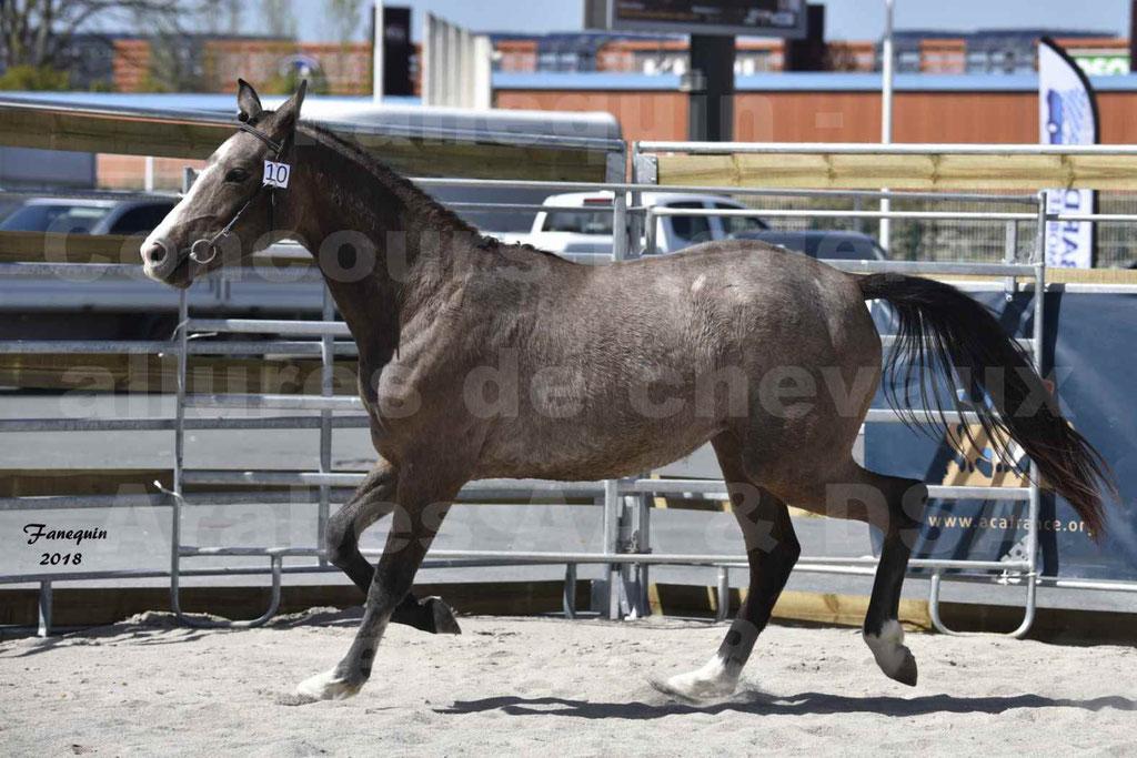 Concours d'élevage de Chevaux Arabes - Demi Sang Arabes - Anglo Arabes - ALBI les 6 & 7 Avril 2018 - GOLD OF MARTRETTES - Notre Sélection - 06