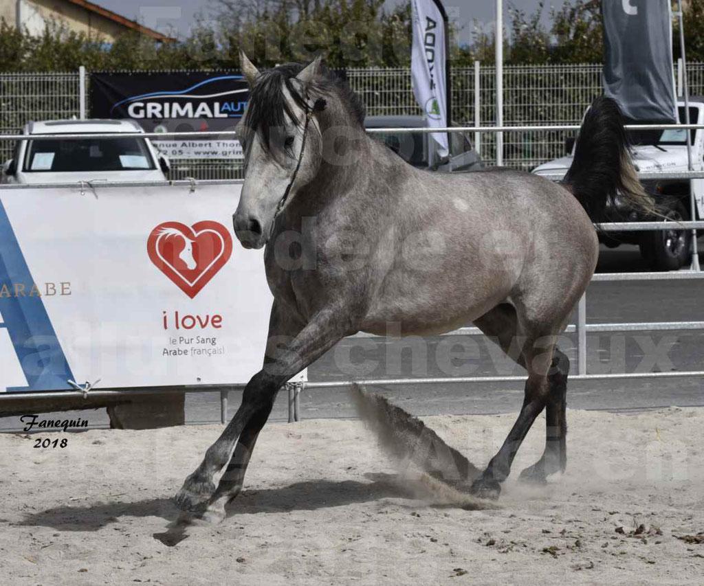 Concours d'élevage de Chevaux Arabes - Demi Sang Arabes - Anglo Arabes - ALBI les 6 & 7 Avril 2018 - FLORAC LARZAC - Notre Sélection - 1