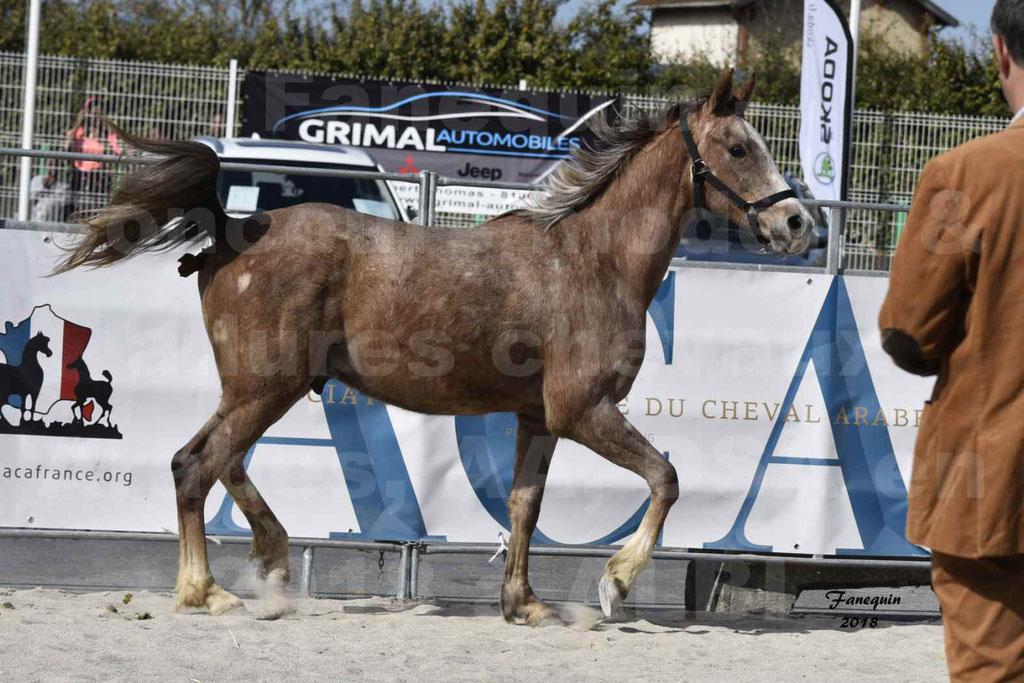 Concours d'élevage de Chevaux Arabes - Demi Sang Arabes - Anglo Arabes - ALBI les 6 & 7 Avril 2018 - GAZIM DU CARRELIE - Notre Sélection - 11