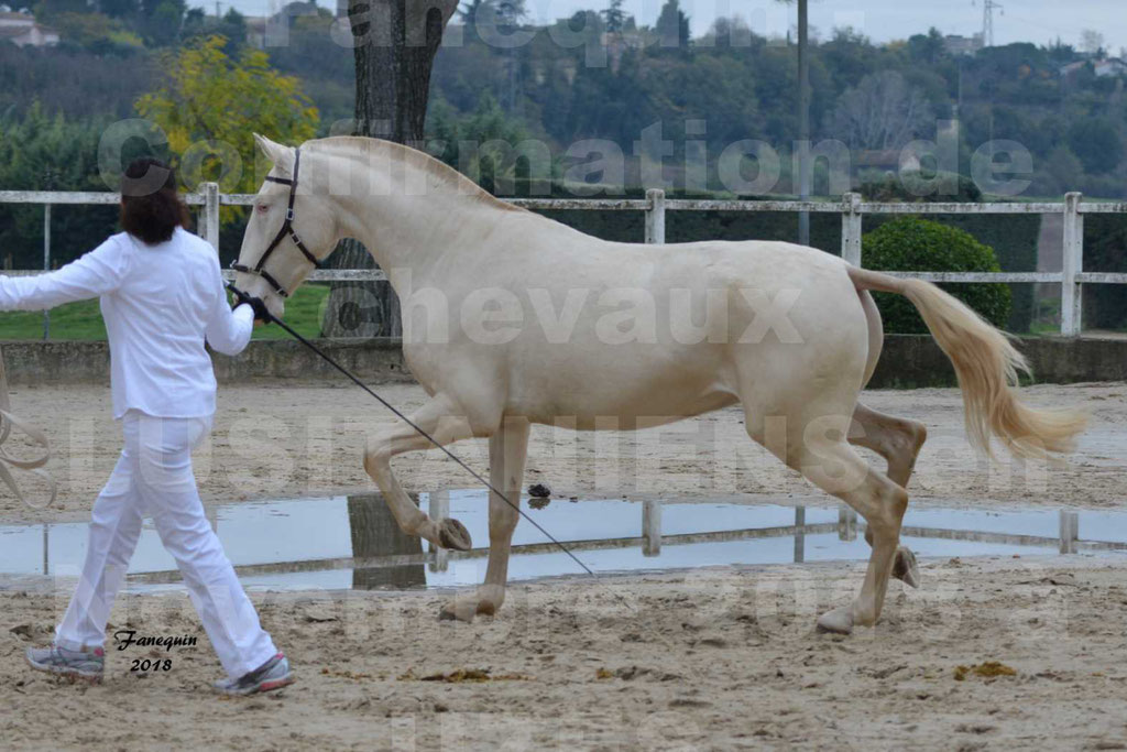 Confirmation de chevaux LUSITANIENS aux Haras d'UZES Novembre 2018 - LOLIBLOU - 04