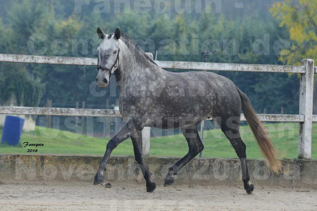 Confirmation de chevaux LUSITANIENS aux Haras d'UZES Novembre 2018 - JAVA DO REAL - 20