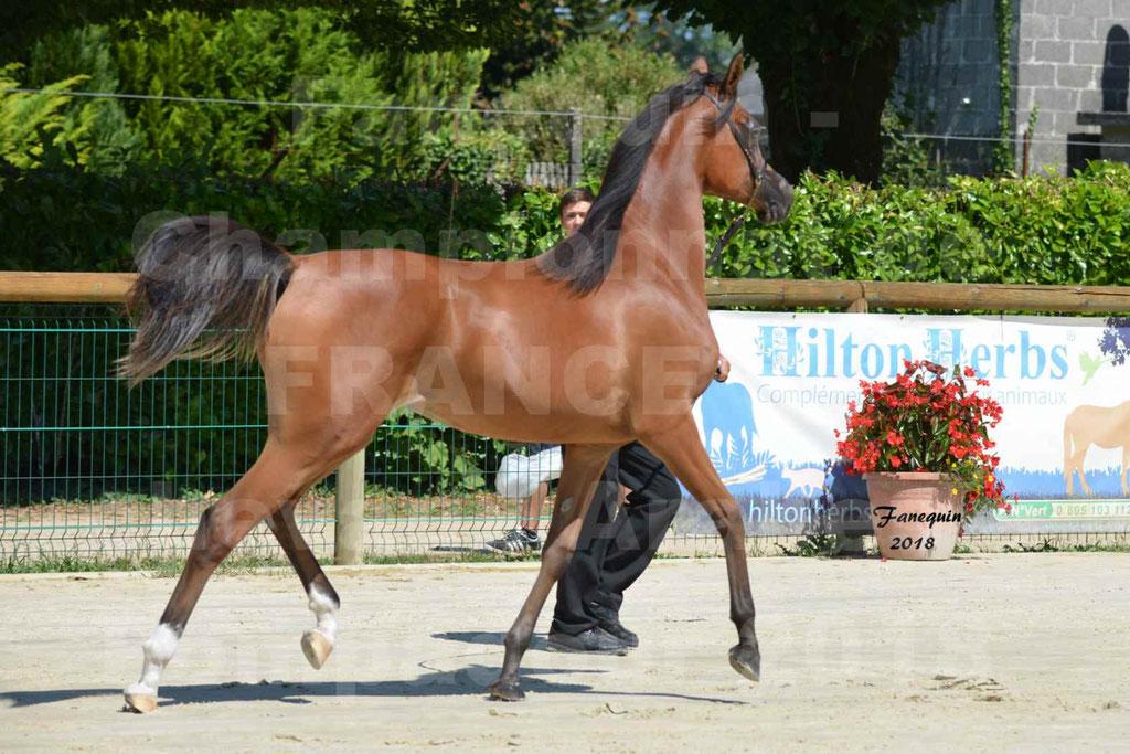 Championnat de FRANCE des chevaux Arabes à Pompadour en 2018 - SH CHARISMA - Notre Sélection - 24