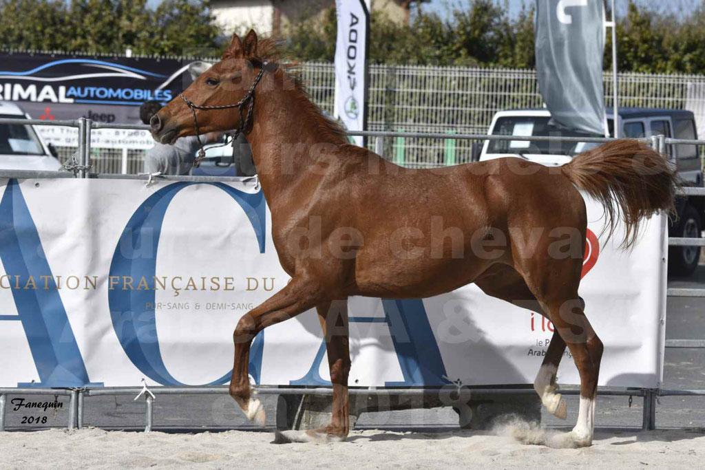 Concours d'élevage de Chevaux Arabes - Demi Sang Arabes - Anglo Arabes - ALBI les 6 & 7 Avril 2018 - GRIOU DU GRIOU - Notre Sélection - 09