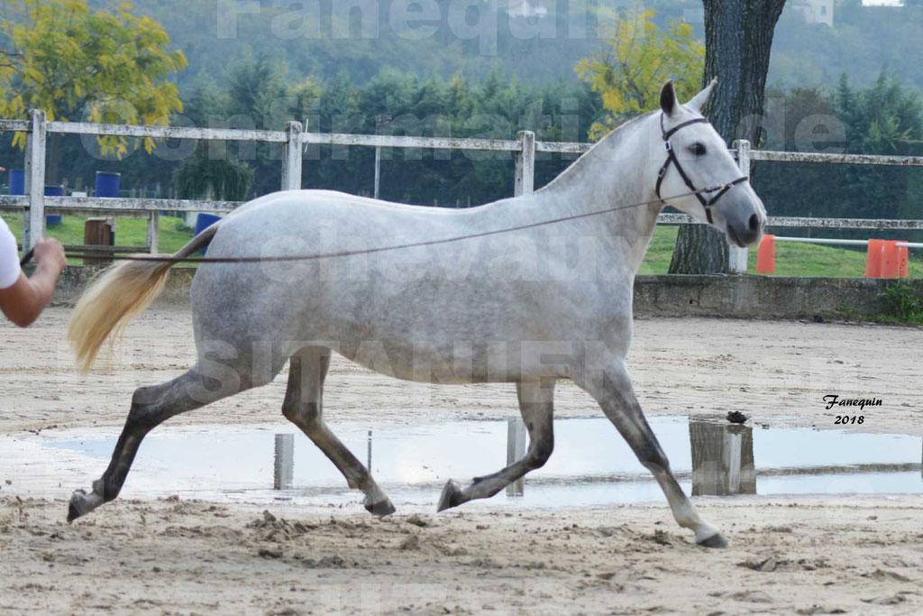 Confirmation de chevaux LUSITANIENS aux Haras d'UZES Novembre 2018 - DANAÏDE DU MOLE - 03