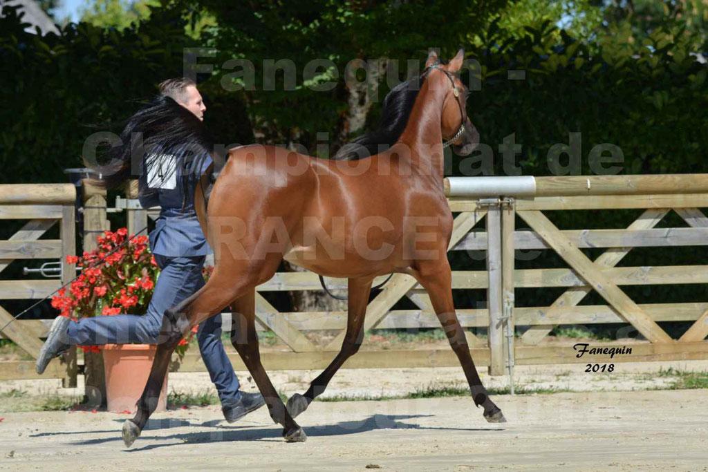 Championnat de FRANCE de chevaux Arabes à Pompadour en 2018 - BO AS ALEXANDRA - Notre Sélection - 08