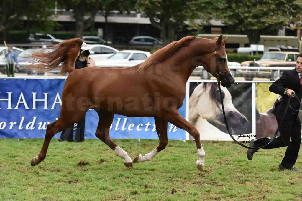International Arabian Horse Show B de VICHY 2016 - DZHARI NUNKI - Notre Sélection - 11