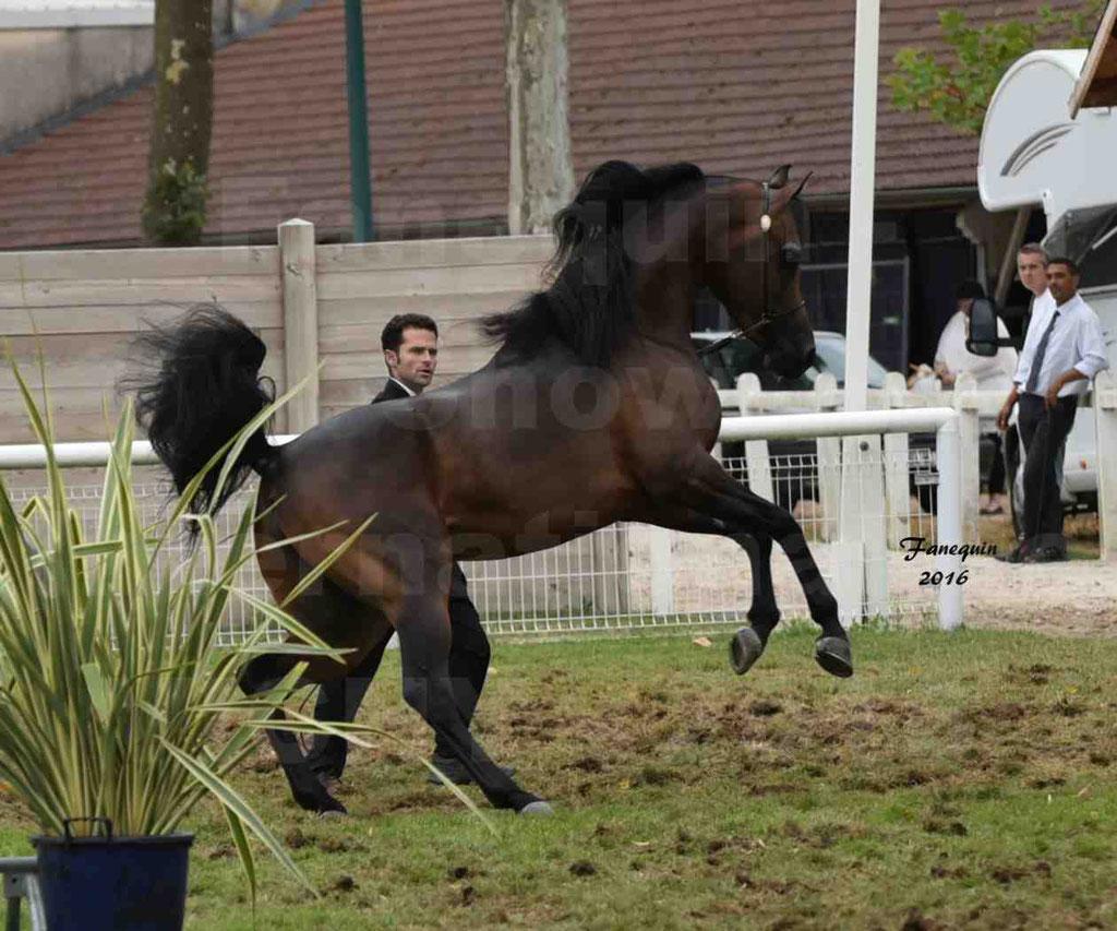 International Arabian Horse Show B de VICHY 2016 - MILLIAR - Notre Sélection - 01