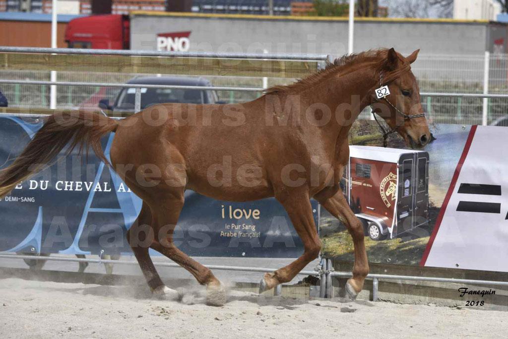 Concours d'élevage de Chevaux Arabes - Demi Sang Arabes - Anglo Arabes - ALBI les 6 & 7 Avril 2018 - FOXTROT DU GRIOU - Notre Sélection - 3