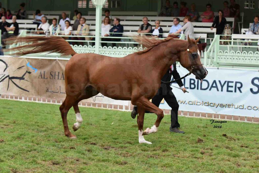 International Arabian Horse Show B de VICHY 2016 - DZHARI NUNKI - Notre Sélection - 04