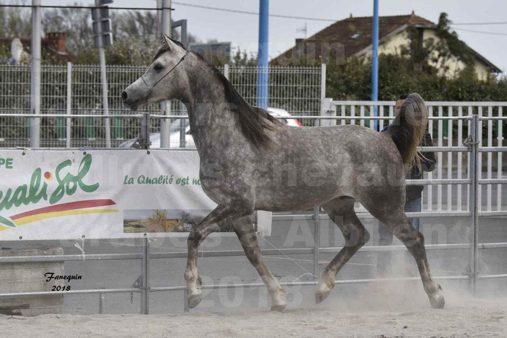 Concours d'élevage de Chevaux Arabes - Demi Sang Arabes - Anglo Arabes - ALBI les 6 & 7 Avril 2018 - PERCEVAL DE LAFON - Notre Sélection - 15