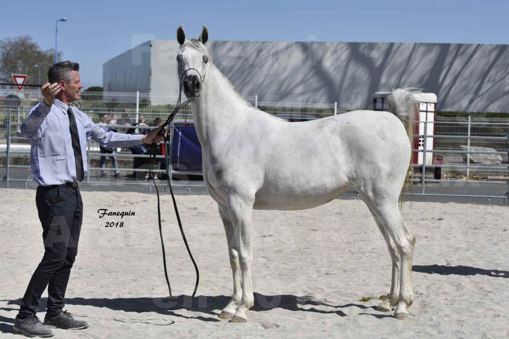 Concours d'élevage de Chevaux Arabes - Demi Sang Arabes - Anglo Arabes - ALBI les 6 & 7 Avril 2018 - FEDORA DE LAFON - Notre Sélection - 4