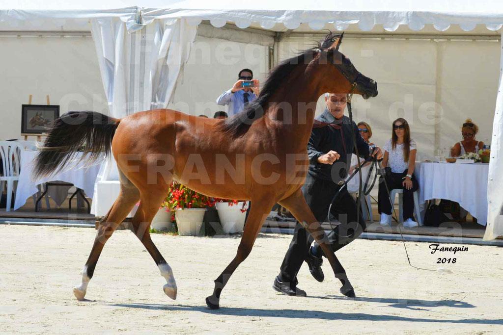 Championnat de FRANCE des chevaux Arabes à Pompadour en 2018 - SH CHARISMA - Notre Sélection - 13