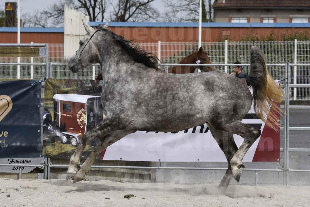 Concours d'élevage de Chevaux Arabes - Demi Sang Arabes - Anglo Arabes - ALBI les 6 & 7 Avril 2018 - PERCEVAL DE LAFON - Notre Sélection - 20