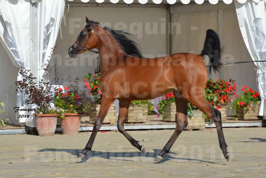 Championnat de FRANCE de chevaux Arabes à Pompadour en 2018 - BO AS ALEXANDRA - Notre Sélection - 29