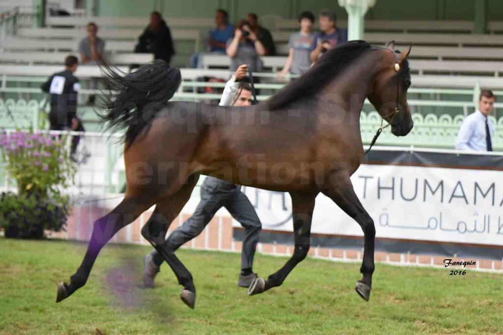 International Arabian Horse Show B de VICHY 2016 - MILLIAR - Notre Sélection - 13