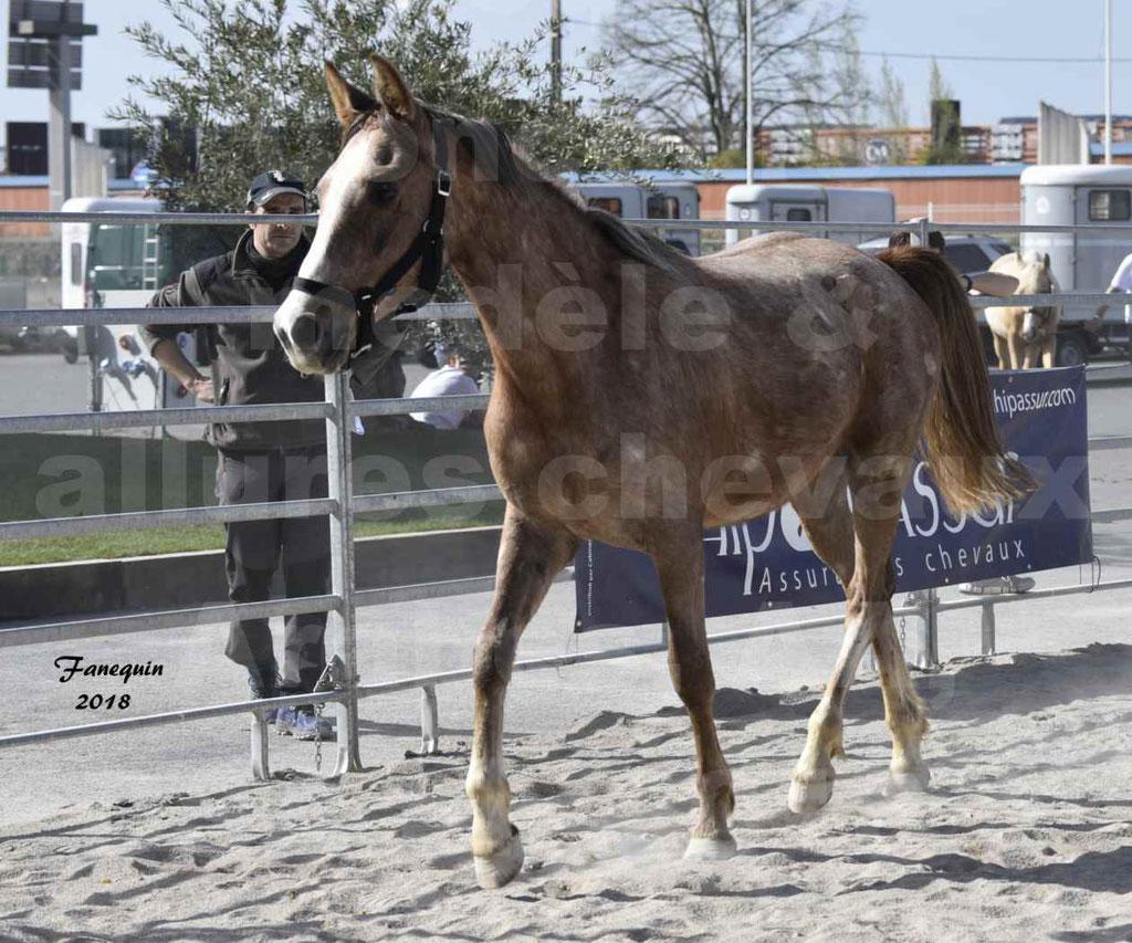 Concours d'élevage de Chevaux Arabes - Demi Sang Arabes - Anglo Arabes - ALBI les 6 & 7 Avril 2018 - GAZIM DU CARRELIE - Notre Sélection - 01