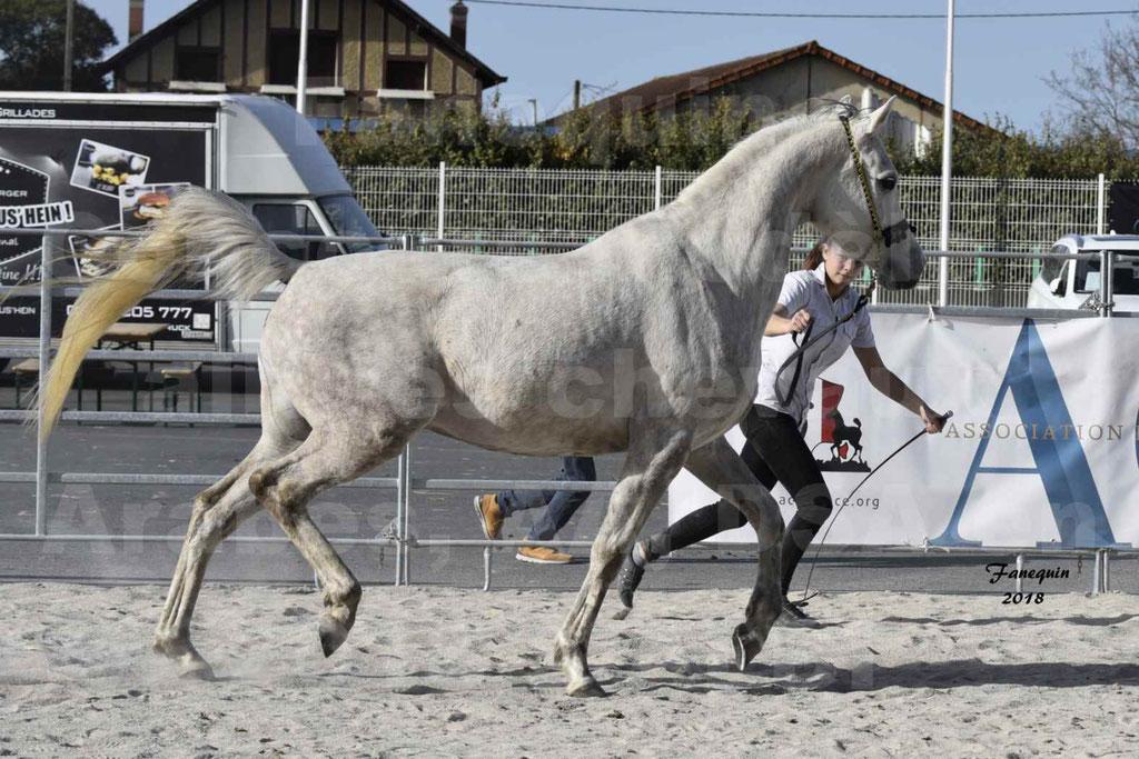 Concours d'élevage de Chevaux Arabes - Demi Sang Arabes - Anglo Arabes - ALBI les 6 & 7 Avril 2018 - NAÏM DE L'OLIVIER - Notre Sélection - 01